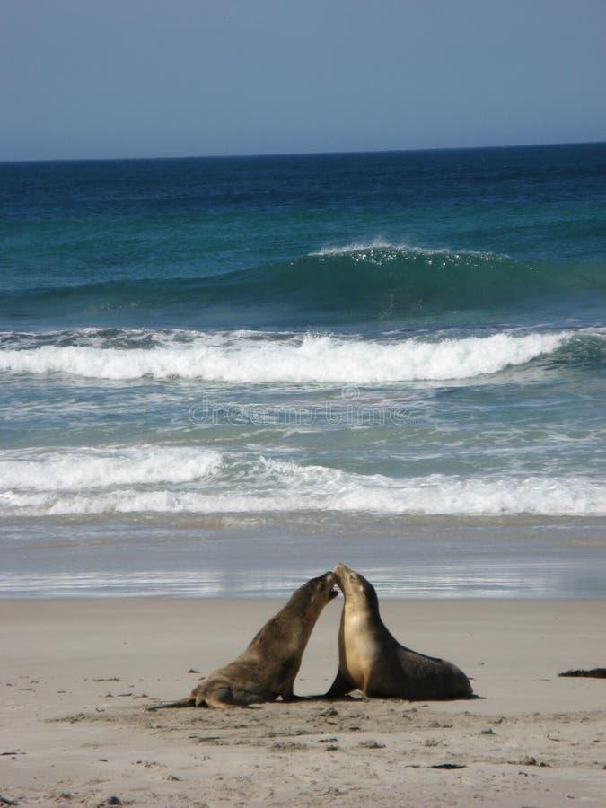 lwy morskie obrazy stock