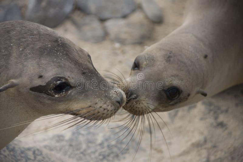 lwy morskie pocałunek. obrazy royalty free