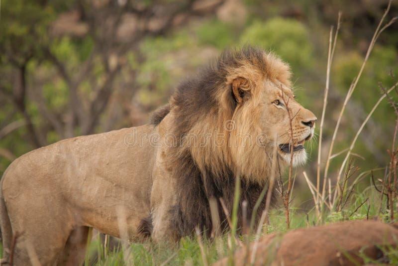 Lwy Nambiti fotografia stock