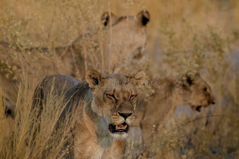 Lwy patrzeje w wszystkie kierunkach obrazy stock