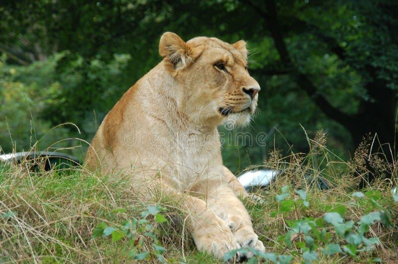 Lwy przewodzą patrzeć i czekać zdjęcie royalty free
