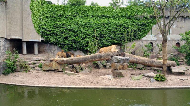 Lwy w zoo fotografia royalty free