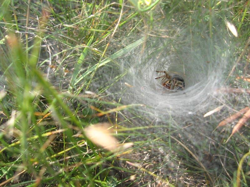 Lya för spindel` s på bakgrunden av gräs arkivbilder