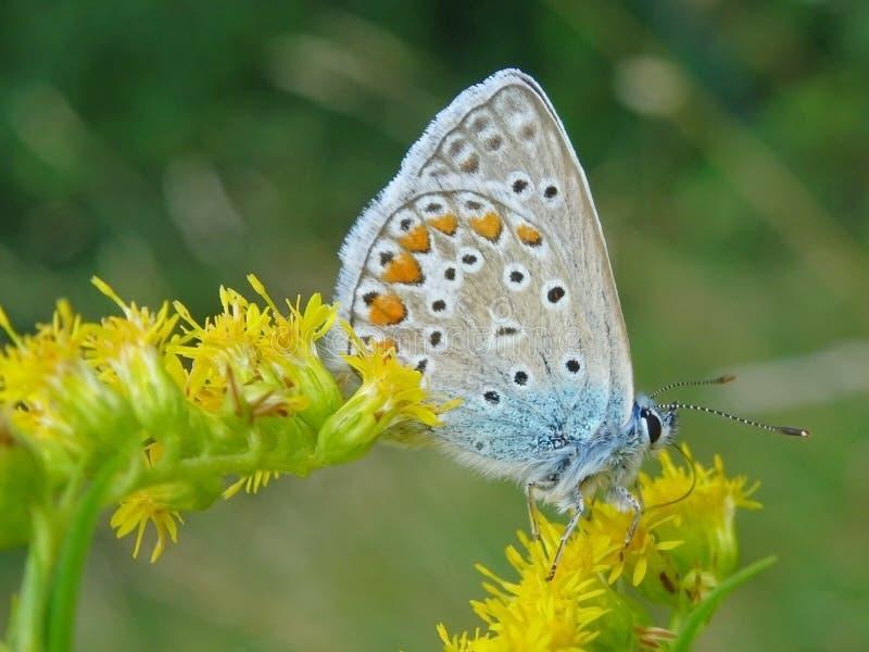 Lycaeidesvlinder op bloem wordt gesteld die stock afbeelding
