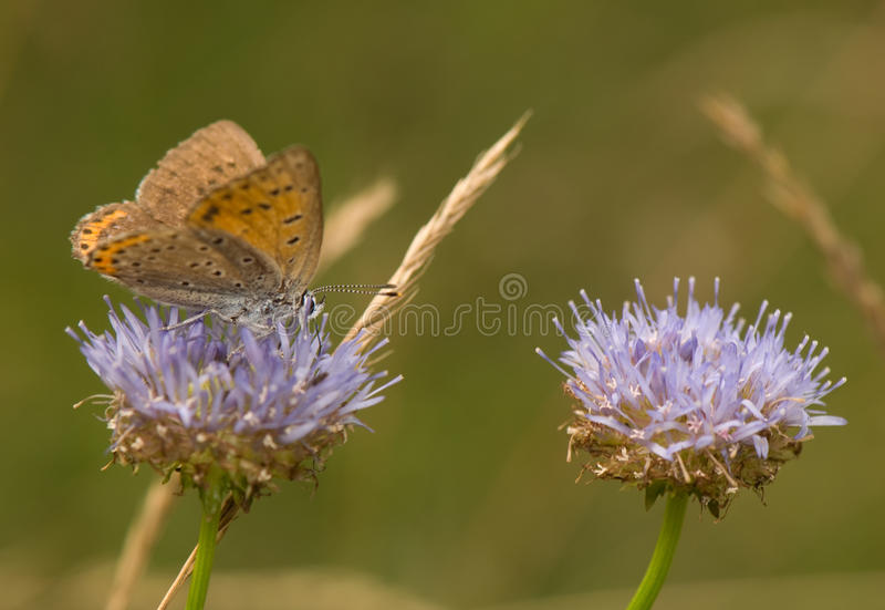Lycaena Alciphron Royalty Free Stock Photo