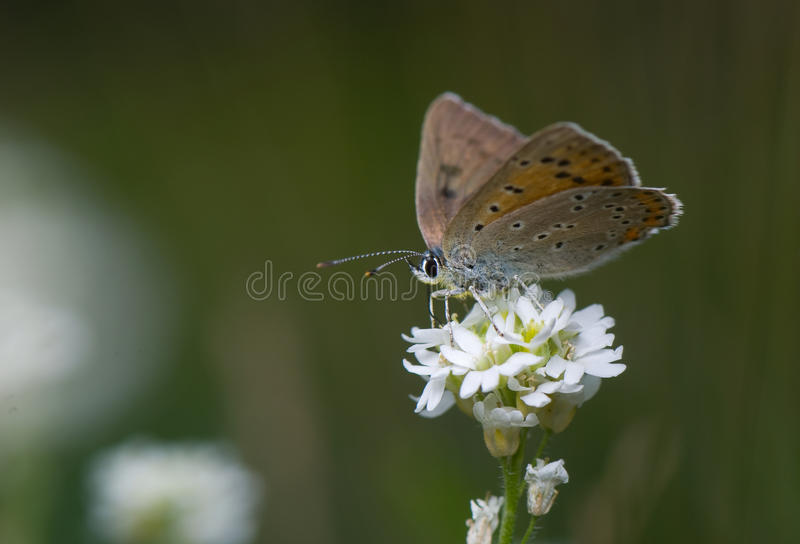 Lycaena alciphron royalty free stock images