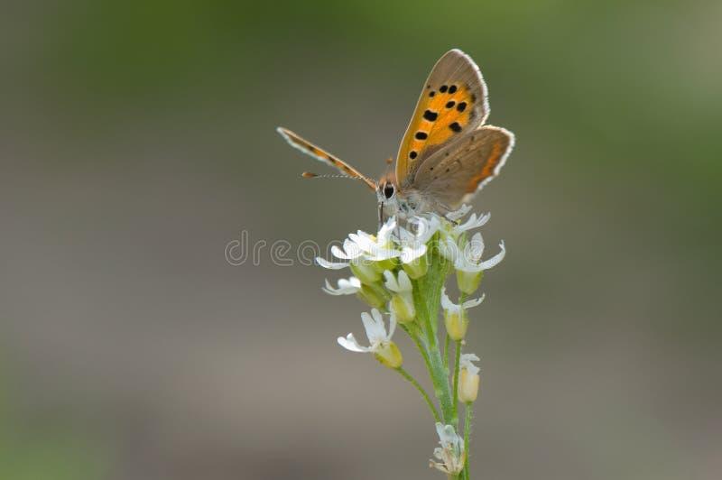 Lycaena phlaeas royalty free stock photography