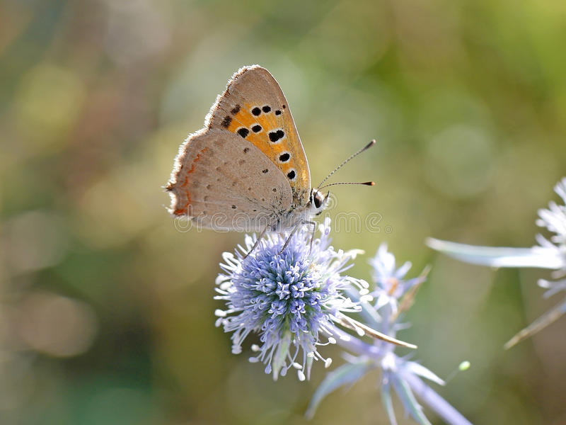 Lycaena Phlaeas images stock