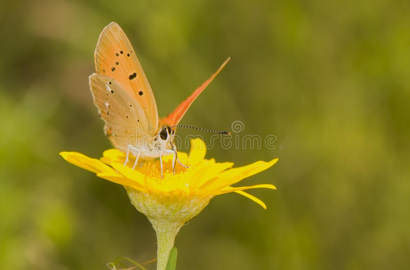 Lycaena virgaureae royalty free stock images