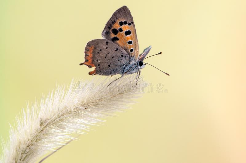 Lycaena virgaureae butterfly on a dry flower on a summer day. In a forest glade stock photography