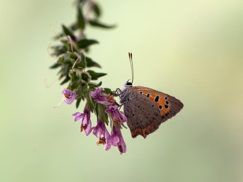 Lycaena virgaureae butterfly early in the morning waiting for the first rays of the sun royalty free stock images