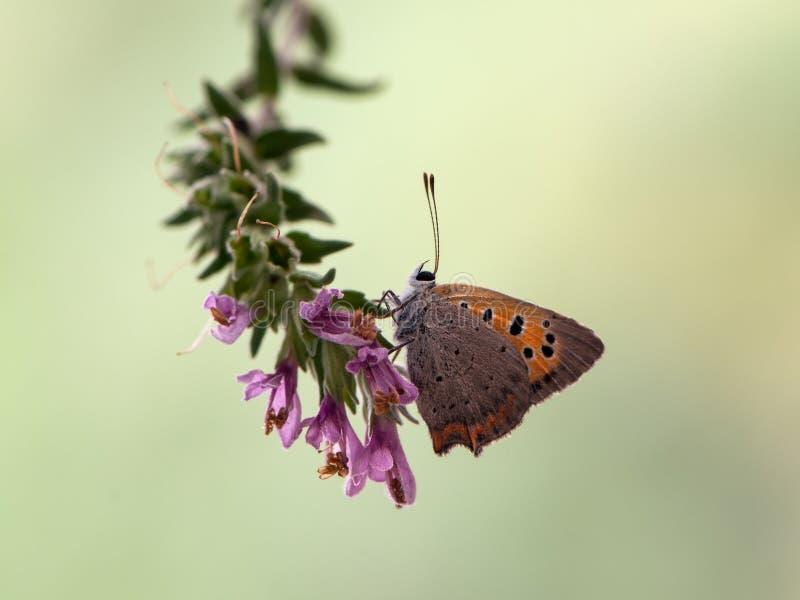 Lycaena virgaureae motyl czekać na pierwszy promienie słońce wcześnie rano obrazy royalty free
