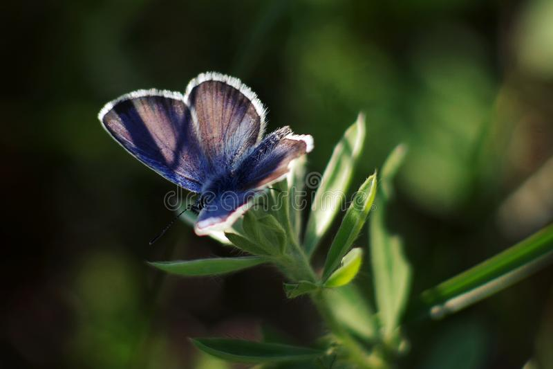 Lycaenidae fotografia stock