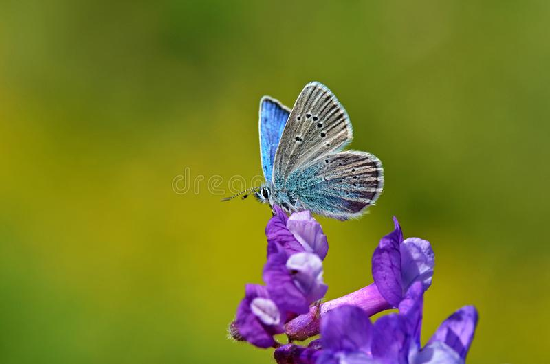 Little butterfly sitting on purple flower , butterflies of Iran. A Lycaenidae blue butterfly sitting half opened wings on a flower in green and yellow background stock photo