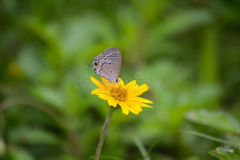 Lycaenidae de la Cobre-mariposa en una flor amarilla imágenes de archivo libres de regalías