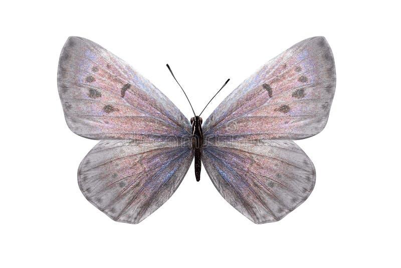 Lycaenidae de papillon de jour avec des ailes blanches et une nuance rose D'isolement sur le fond blanc photographie stock libre de droits