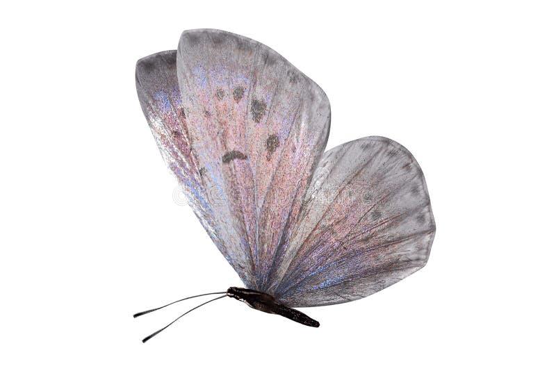 Lycaenidae de papillon de jour avec des ailes blanches et une nuance rose D'isolement sur le fond blanc photos libres de droits