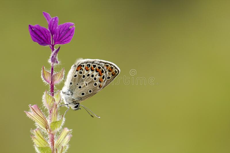 Spotted Butterfly on Purple Flowers royalty free stock photo