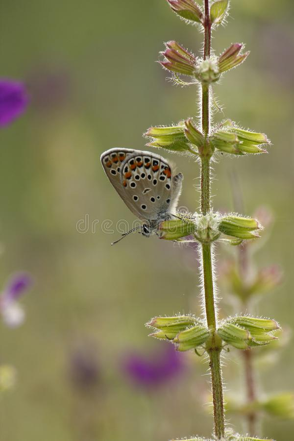 Spotted Butterfly on Purple Flowers stock photos