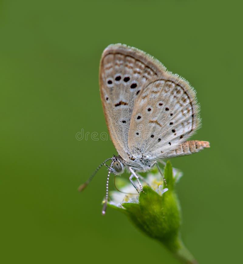 Lycaenidaevlinder op de bloem stock foto