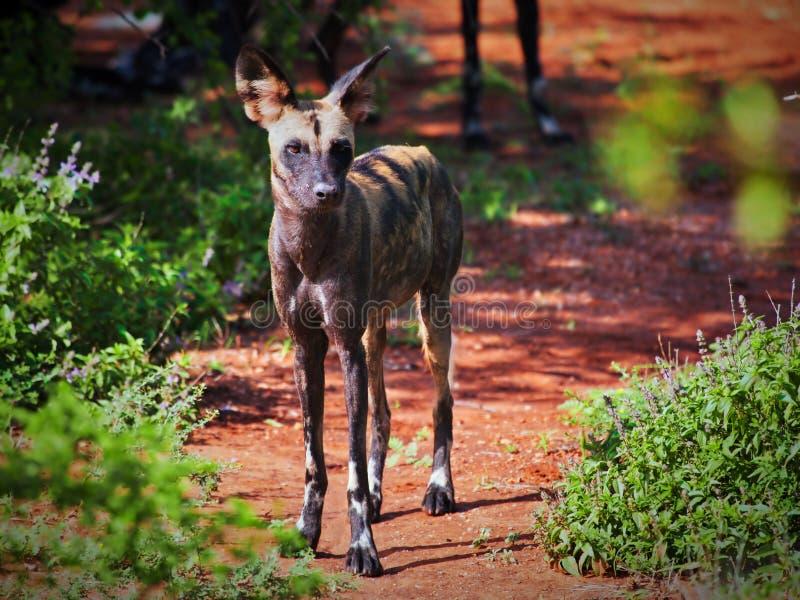 Lycaon, der afrikanische wilde Hund. Tsavo West, Kenia, Afrika. stockfotografie