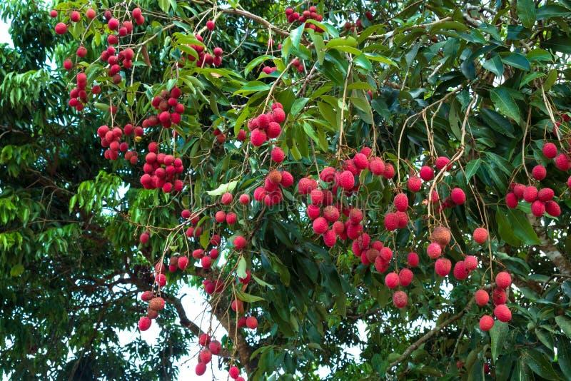 lychee плодоовощ зрелое стоковая фотография rf