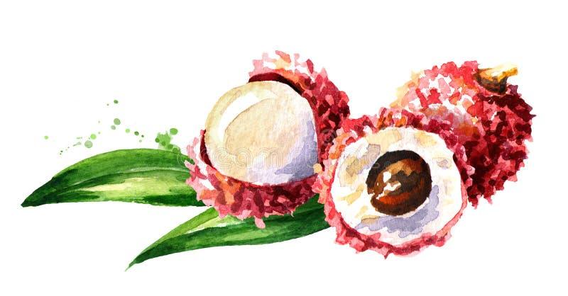 Lychee fresco Illustrazione disegnata a mano dell'acquerello, isolata su fondo bianco royalty illustrazione gratis