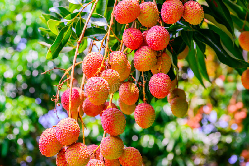 Lychee fruit (asia fruit) on the tree. stock image