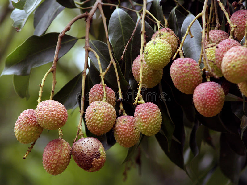 Lychee stock images