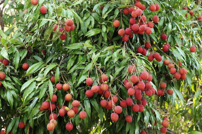 Lychees που κρεμούν στο δέντρο στοκ εικόνες