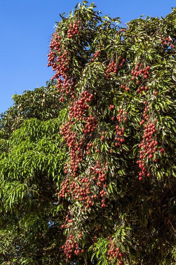 Lychees στο δέντρο στοκ εικόνες