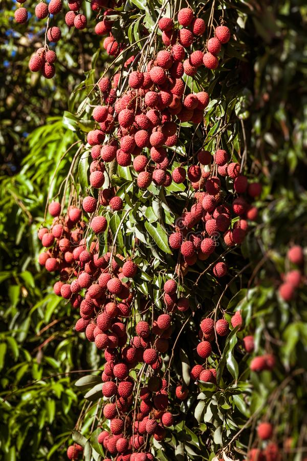Lychees στο δέντρο στοκ φωτογραφία με δικαίωμα ελεύθερης χρήσης