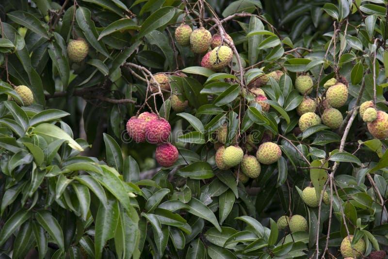Lychees φρούτα στο δέντρο στοκ εικόνα με δικαίωμα ελεύθερης χρήσης