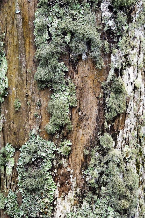 Lychens crece en corteza de un árbol fotos de archivo libres de regalías