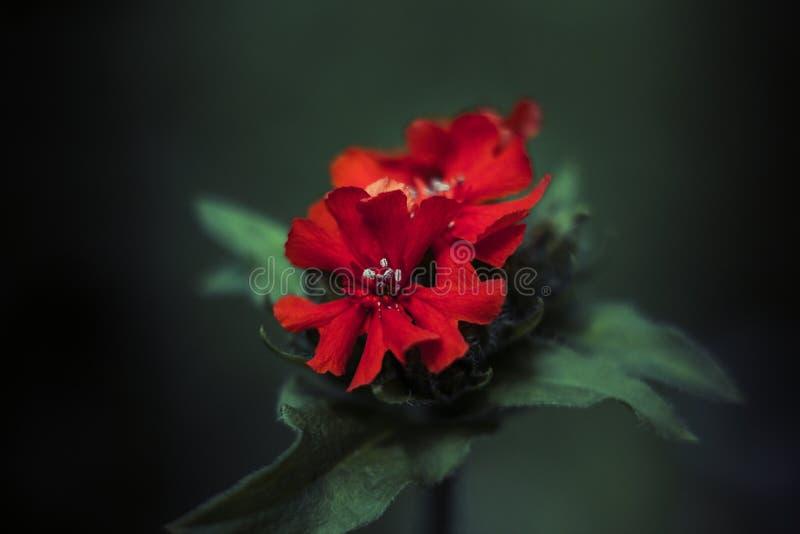 Lychnis chalcedonica明亮的红色花或蝗虫chalcedonica或者剪秋罗或者暗淡的三文鱼或灼烧的爱特写镜头在绿色 库存图片