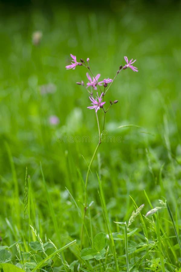 Lychnis flos-cuculi pink wild meadows flowers in bloom, beautiful summer flowering plant stock photos