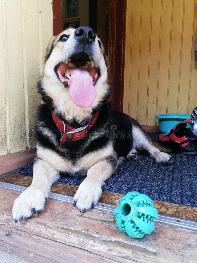 Lycka är en hund med hans favorit- leksak arkivbilder