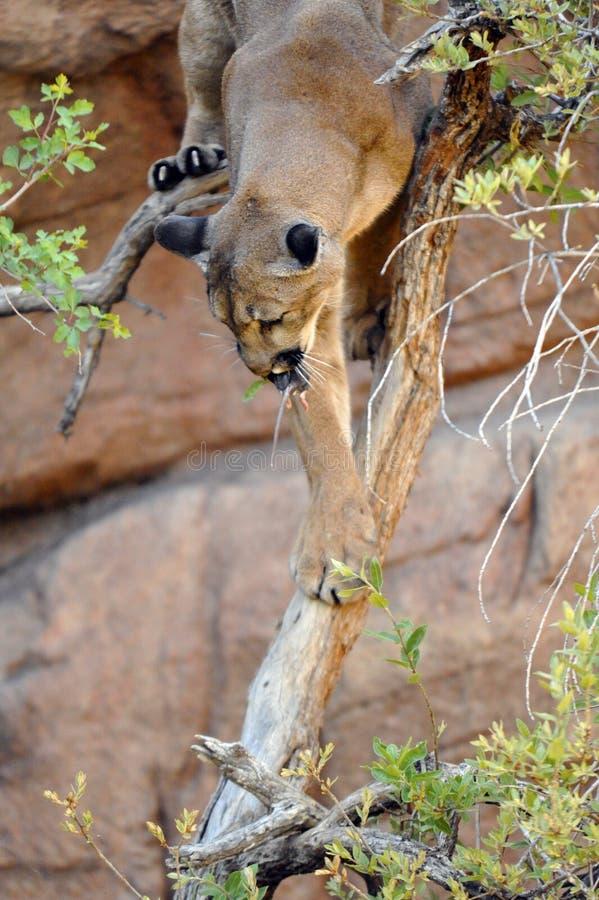 Lyckat lås! Puma/berg Lion With Mouse i mun royaltyfria bilder