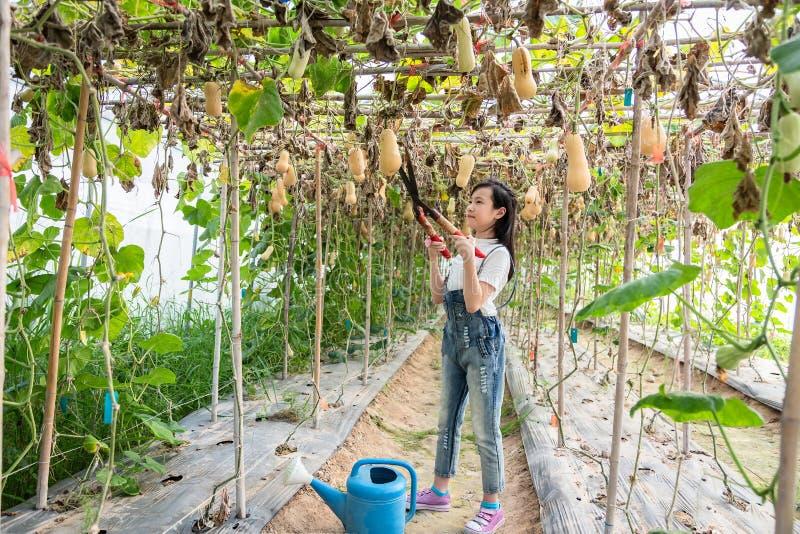 Lycklig asiatisk flicka i hennes trädgård, liten flicka till att skörda pumpa royaltyfria bilder