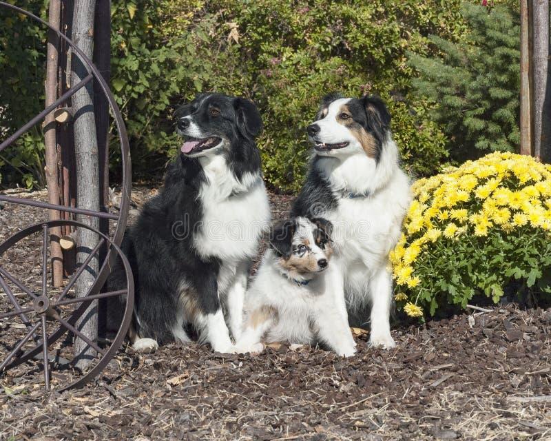 Lycklig australisk herde Dog Family royaltyfria foton