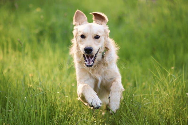 Lycklig banhoppning för golden retrieverhund, medan köra till kameran fotografering för bildbyråer