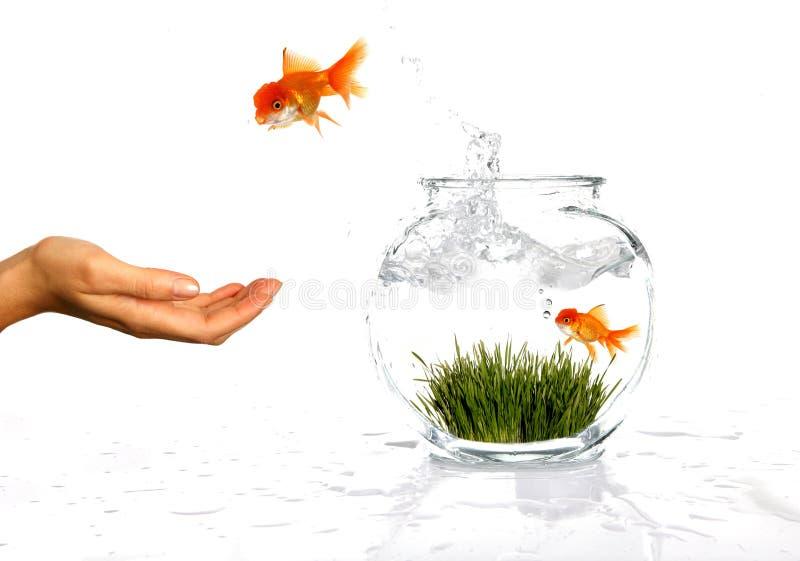 lycklig banhoppning för guldfisk arkivfoto