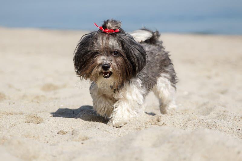 Lycklig Bichon Havanese hund som spelar och kör på stranden arkivfoton