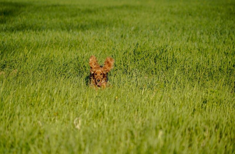 Lycklig cockerspaniel som kör i det gröna gräset royaltyfri bild