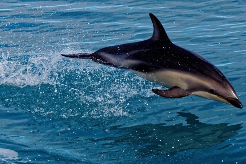Lycklig delfin, Kaikoura, Nya Zeeland arkivfoto