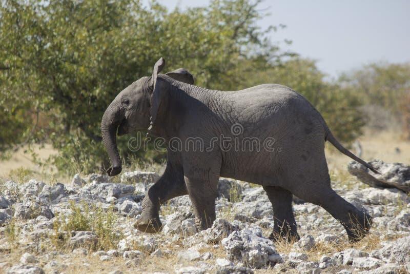 Lycklig elefant Namibia royaltyfria bilder