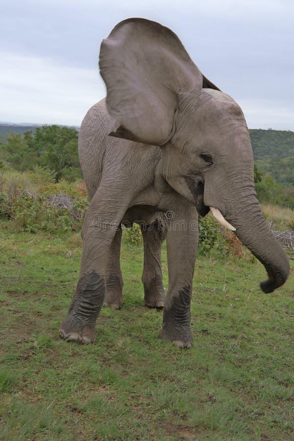 Lycklig elefant Sydafrika royaltyfri foto