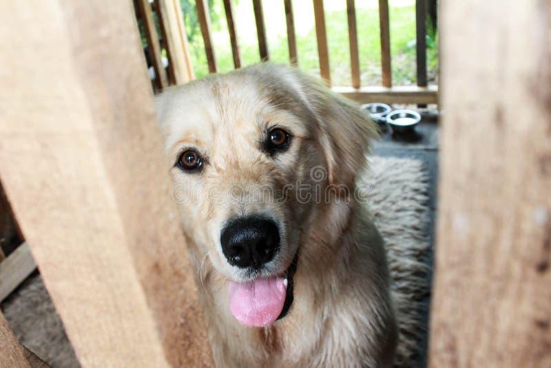 Lycklig golden retrieverhund i hans trähus royaltyfri fotografi