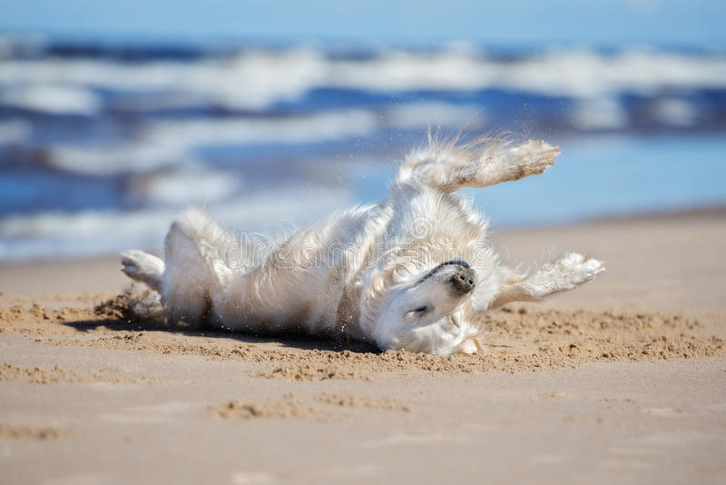 Lycklig golden retrieverhundrullning på sand arkivbild