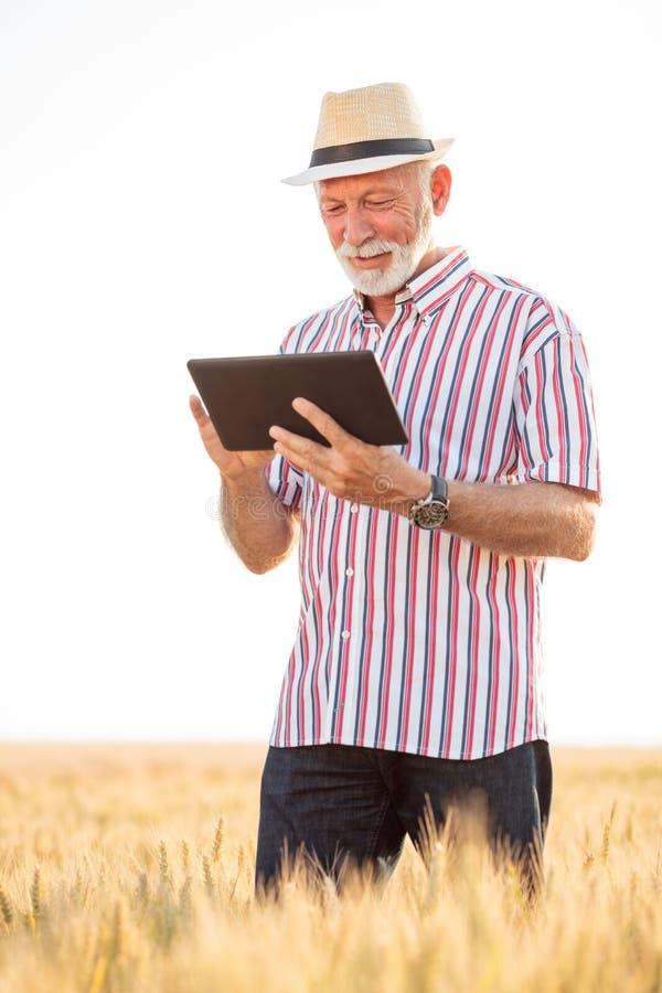 Lycklig grå haired agronom eller bonde som använder en minnestavla, medan kontrollera det organiska vetefältet för skörden royaltyfria bilder